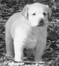 RSJ Labradors