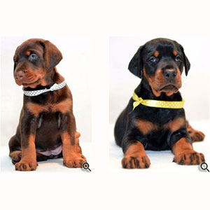 European doberman pinscher puppies for sale in USA